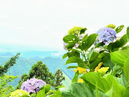 Hydrangea blooming in the mountains 3