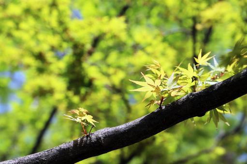 Spring park maple fresh green