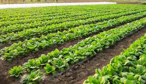 Vegetable field 0514