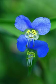 涼爽的藍色花朵