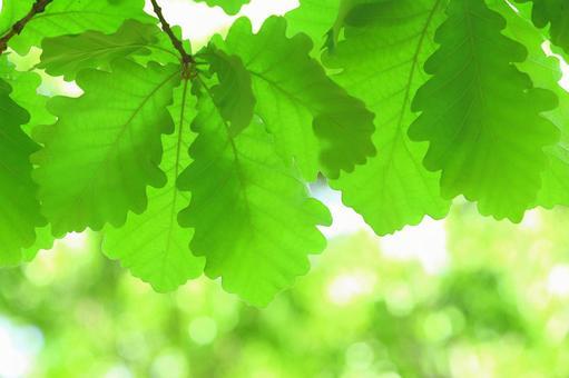 Kashiwa's young leaves Kashiwa fresh green leaves