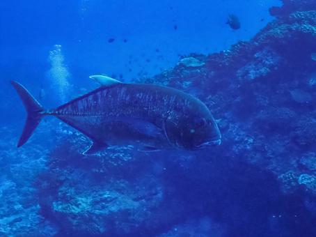 Underwater photograph (Giant Trevally)