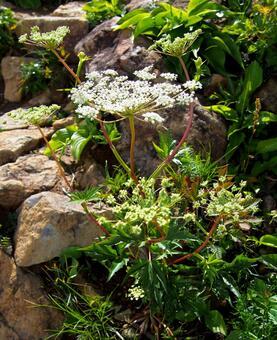 고산에 피는 꽃 미야마토우키 (약용 식물)