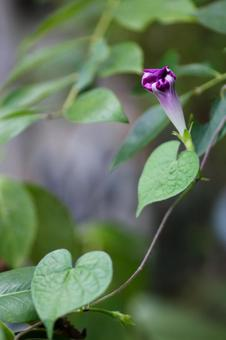 Withered purple morning glory flower