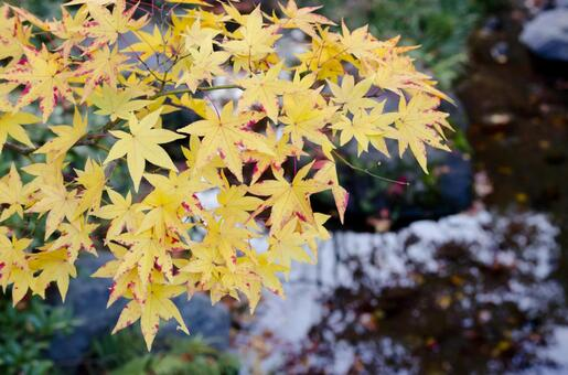 Temporary coloring maple 34