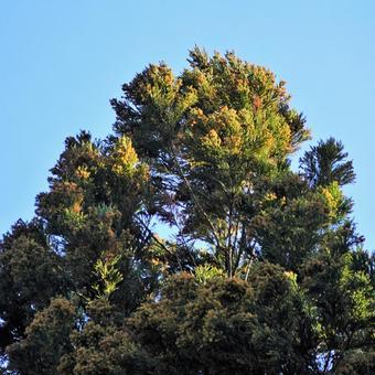 Cedar pollen The top of a cedar in full bloom