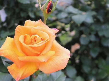 오렌지 아름다운 장미