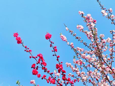 Blue sky and hanamomo