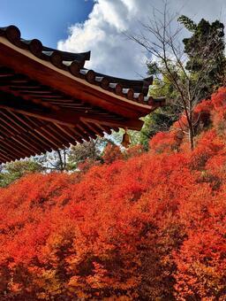 Autumn leaves Enkianthus perulatus Red Bright red
