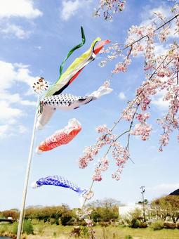 Cherry blossoms and carp streamers