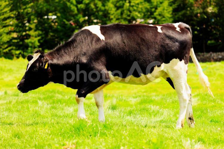 牛歩の写真