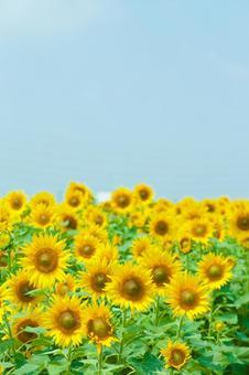 Sunflower field 67
