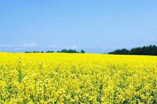 노란 융단의 유채 꽃밭