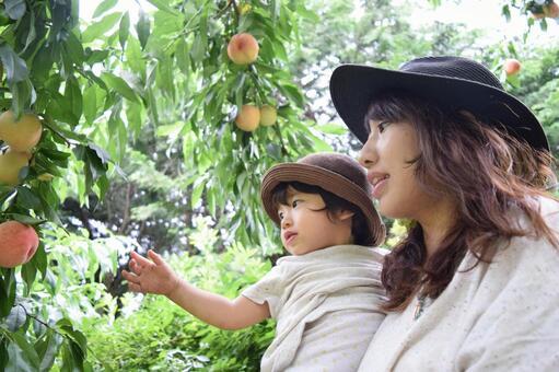 Parent and child enjoying peach picking