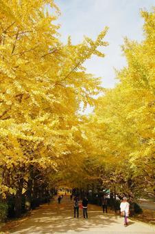 Ginkgo row of trees