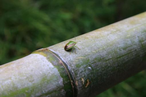 Stink bug on a bamboo railing