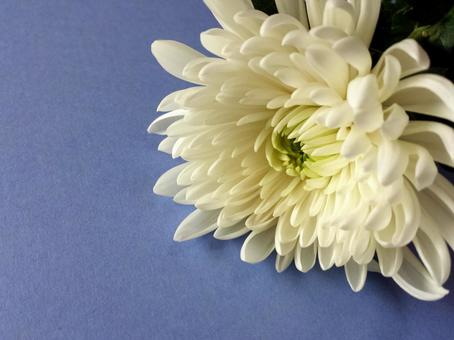 White chrysanthemum ④