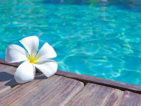 Plumeria 4 on the pool side
