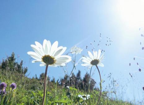Sky and white flowers 01