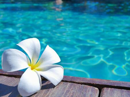 Plumeria 5 on the pool side