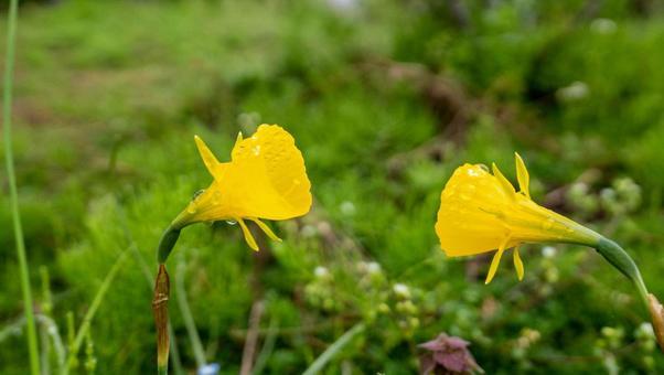 나팔 모양의 노란 수선화