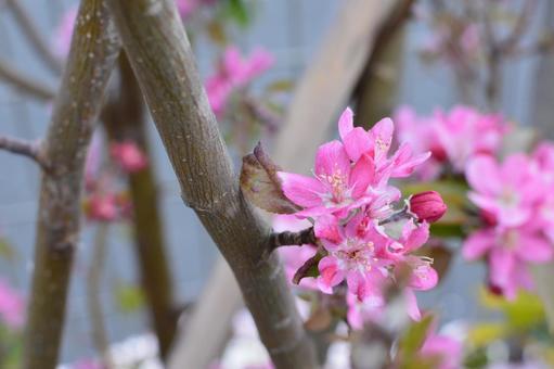 나무에 피는 핑크의 꽃 봉오리