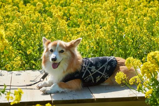Corgi rape blossoms