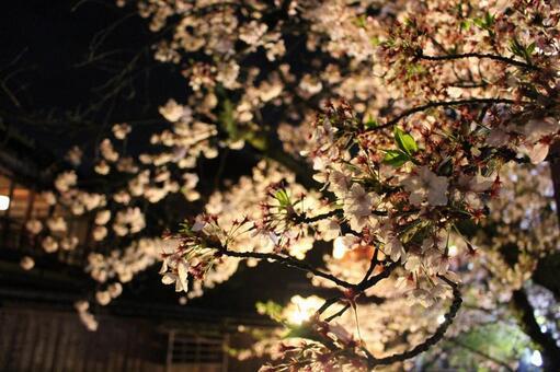 기온 시라카와의 벚꽃