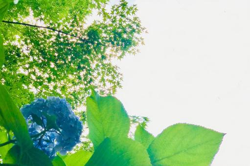 Hydrangea hydrangea frame looking up at the blue maple