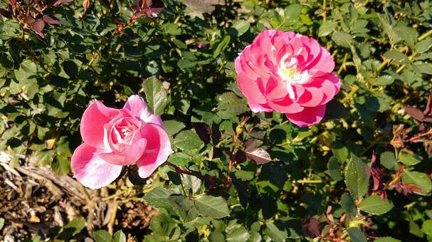 두 장미 꽃