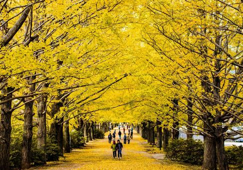 Ginkgo tree at the best time