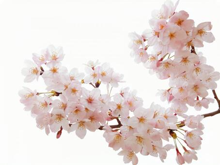 Cherry blossoms in full bloom-white background