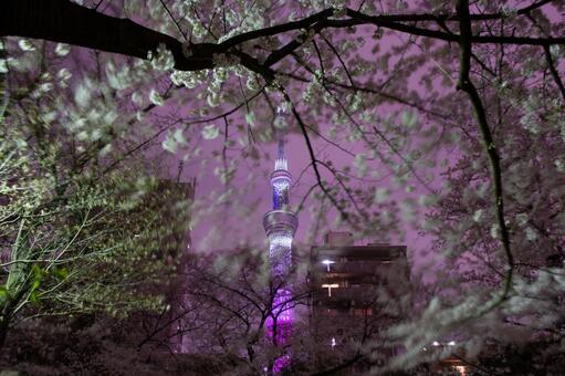 Night cherry blossoms and sky tree