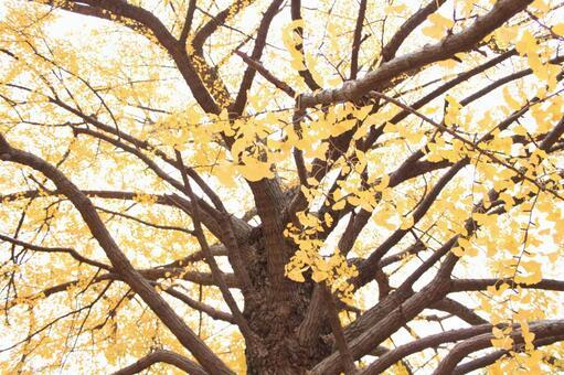 Ginkgo biloba in autumn