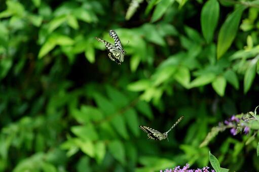 날고있는 호랑 나비 2 마리