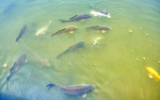 Koi in the pond_2