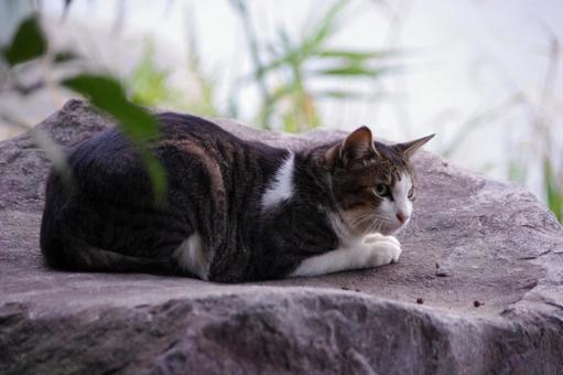 Cat Saba Shironeko 在岩床上放鬆