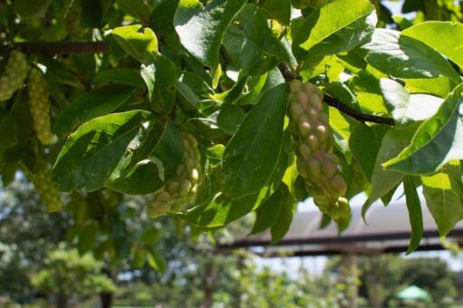 배경 코브의 열매