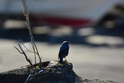 在一個石灘上的藍色岩石鵝口瘡