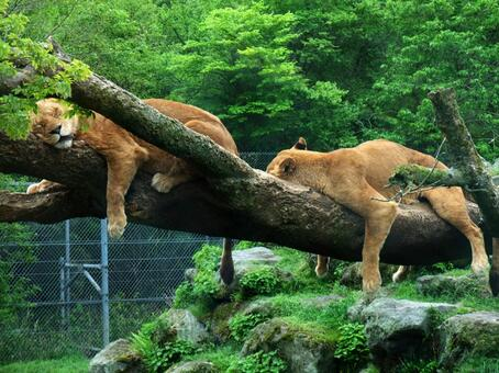 Lion taking a nap on a tree Funny animal photo Humor