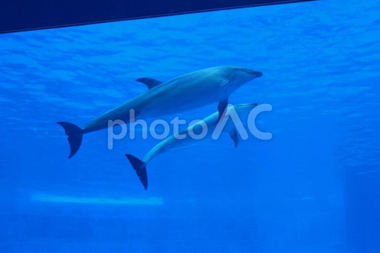 仲良く並んで泳ぐイルカの写真