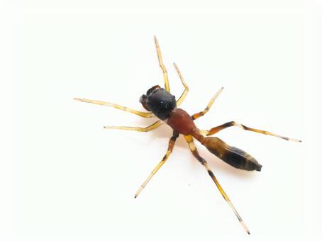 Ant Spider