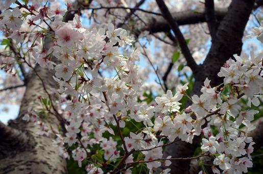 桜のある風景