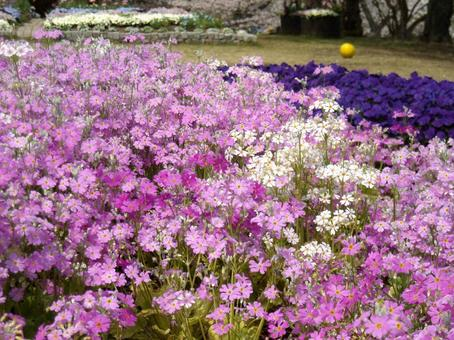 Flower garden of cherry tree plant