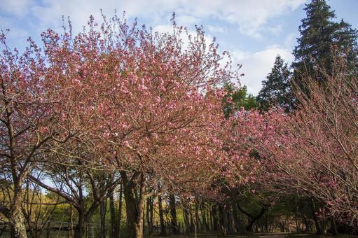 風景帶雙重櫻花#2
