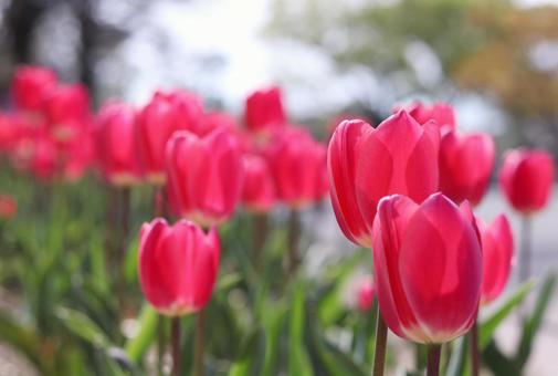 Tulip 19