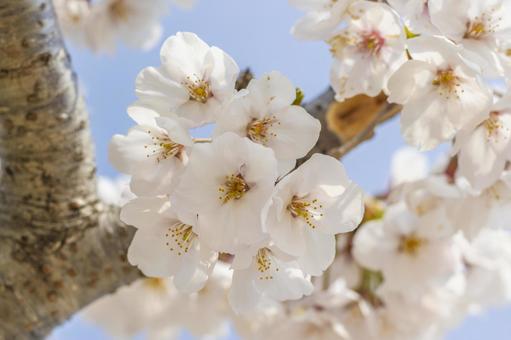 Yoshino cherry tree 1