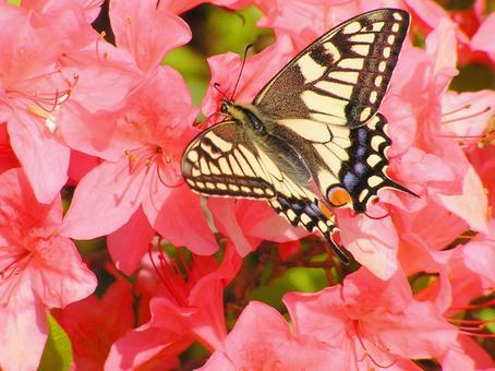 핑크 (진달래) 꽃과 호랑 나비 3