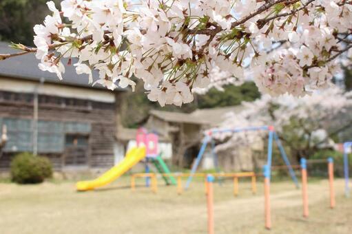 교정의 벚꽃