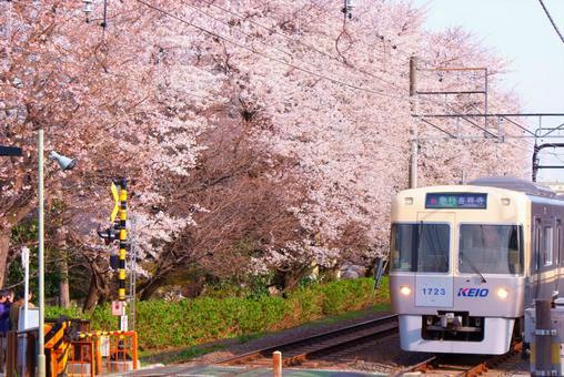 Sakura and Keio Inokashira Line 3